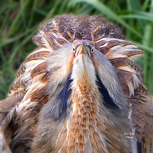 American Bittern all in a Fluff