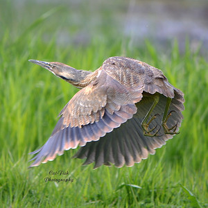 American Bittern Taking flight