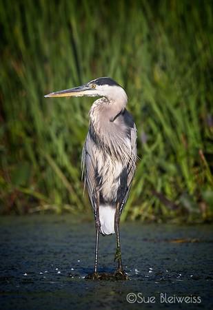 Herons, Egrets, Cranes