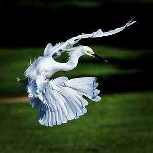 Herons / Egrets