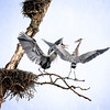 Herons Courtship and Nest Building 2019 - 3