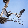 Herons Courtship and Nest Building 2019 - 5