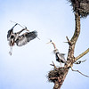 Herons Courtship and Nest Building 2019