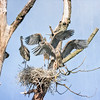 Herons June 2019 Juviniles