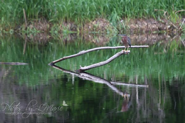 Herons, Cranes & Egrets