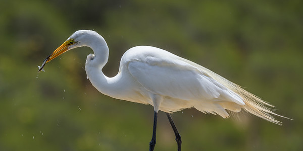 Great Egret fishing, Lake San Marcos, CA.