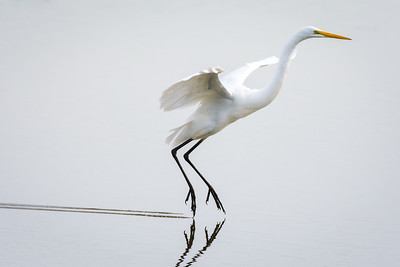 Great Egret's graceful landing, Tomales Bay, California