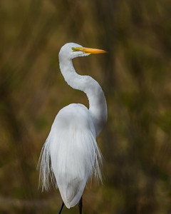 Great Egret, Point Reyes National Seashore.