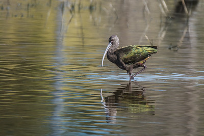 White Faced Ibis, Sholemberger Park, Petaluma, California.