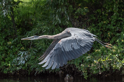 Great Blue Heron, Lake San Marcos, California.