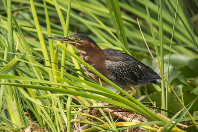 Green Heron, Lake San Marcos, California.