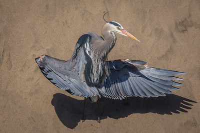 Great Blue Heron,, at Abbott's Lagoon, Point Reyes National Seashore.