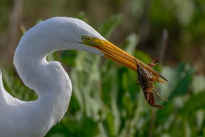 Great Egret, Sholemberger Park, Petaluma, CA.