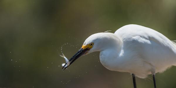 Snowy Egret, Lake San Marcos, California.