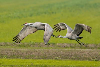 Sandhill Cranes, Central Valley, California