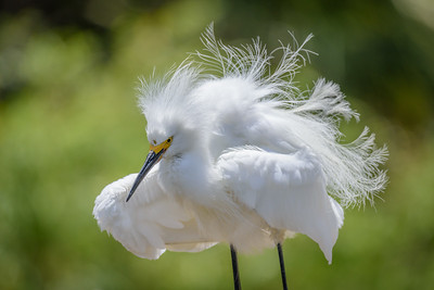 Snowy Egret, Lake San Marcos, California.