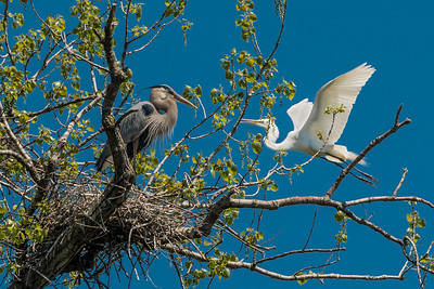 Great Blue Heron and Great White Egret in nesting season