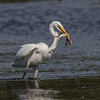 Great Egret - Sølvhejre