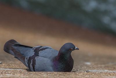 Herons & Pigeons-31