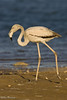 Flamingo (Phoenicopterus ruber).<br /> Dahkla (Western Sahara), April 2007.<br /> Esp: Flamenco<br /> Cat: Flamenc