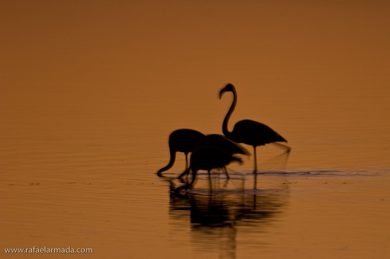 Flamingo (Phoenicopterus ruber).<br /> Elands Bay (South Africa), November 2005.<br /> Esp: Flamenco<br /> Cat: Flamenc