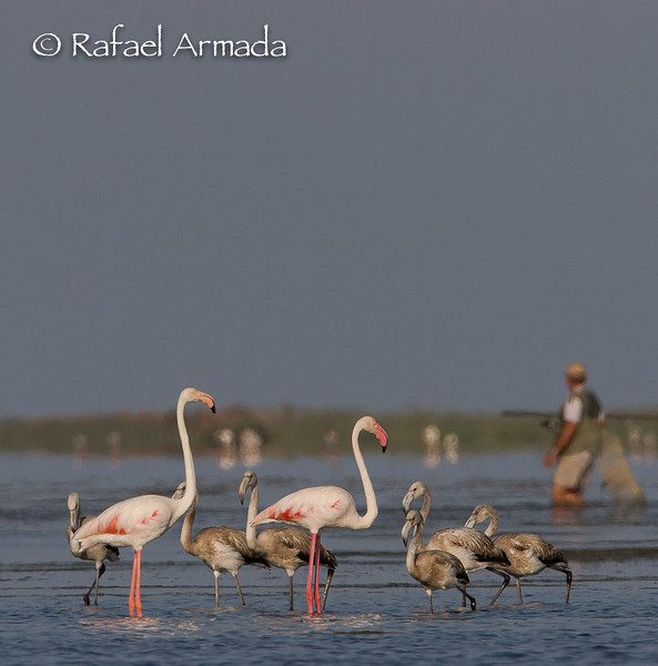 Flamingo (Phoenicopterus ruber).<br /> Ebre delta (Tarragona, Catalonia, Spain), September 2006.<br /> Esp: Flamenco<br /> Cat: Flamenc