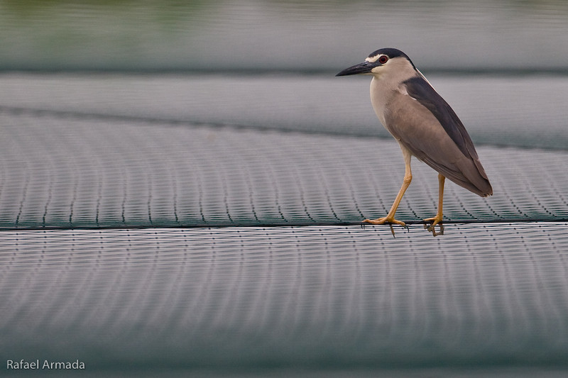 Night Heron (Nycticorax nycticorax). Ma'agan Mikhael (Israel), April 2006.<br /> Esp: Martinete<br /> Cat: Martinet de nit