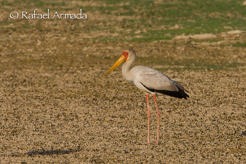 Yellow-billed Stork (Mycteria ibis). Abu Simbel (Egypt), July 2008.