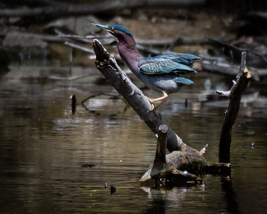 Green Heron posing on branch in water