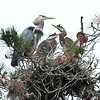 Great blue heron and chicks at Coal Chute Point<br /> May 2012