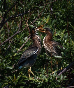 Green Heron siblings