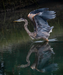 Great Blue Heron juvenile Lift & Splash