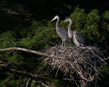 Great Blue Heron juvenile pair in nest