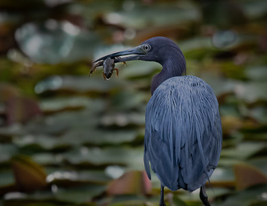 Little Blue Heron frog6