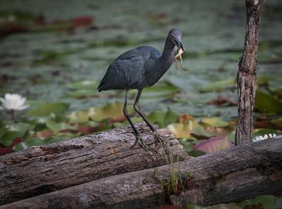 Little Blue Heron on log frog5