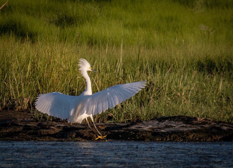 Snowy Egret putting on the brakes at landing