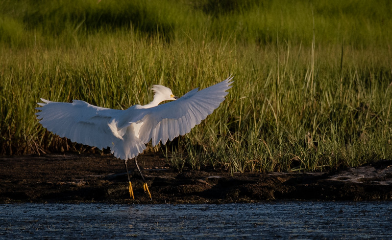 Snowy Egret slowing to land