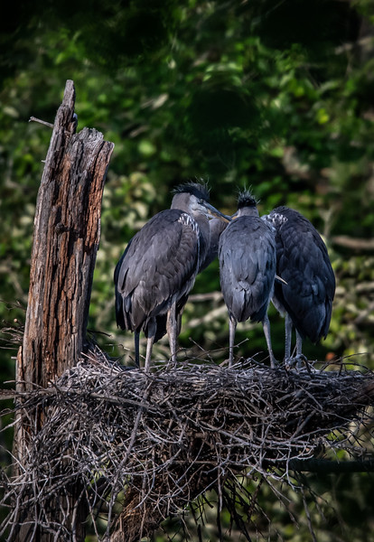 Great Blue Heron Chick secret meeting (The Conspiracy!)