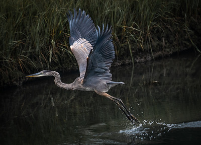 Great Blue Heron juvenile take off