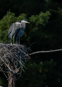 Great Blue Heron Juvenile siblings
