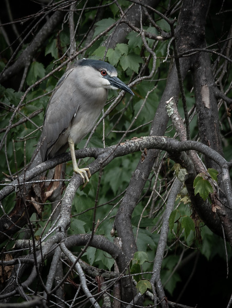 Black-Crowned Night Heron tree