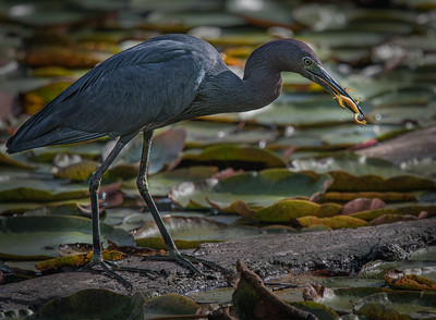 Little Blue Heron frog1