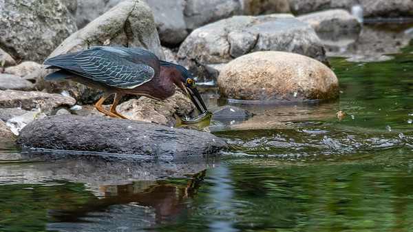Green Heron lunch caught!
