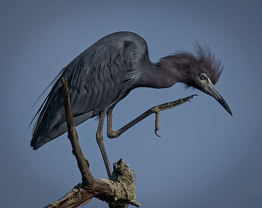 Little Blue Heron scratching