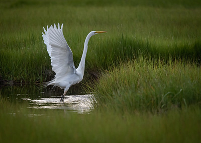Great Egret in light