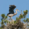 Great blue heron.<br /> The maturing chick stretching its wings. <br /> I'll bet its flying by next week.