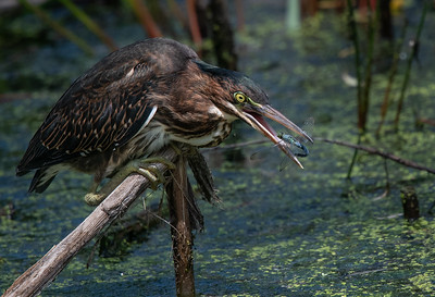 Green Heron with Blue Dasher curled