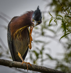 Green Heron chin scratch