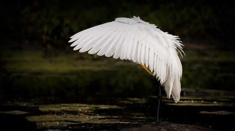 Egret / Aigrette