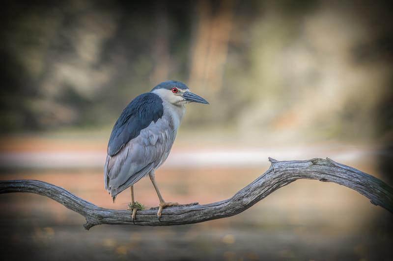 Black-crowned night heron / bihoreau gris